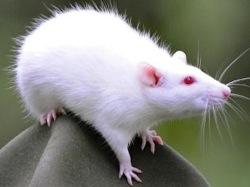 rat_250.jpg