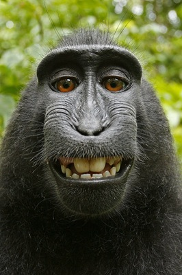猿のクレステッド・ブラック・マカク