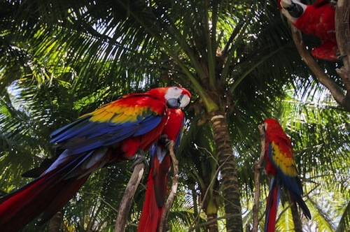 MEXICO-SCARLET MACAW-GUINESS RECORD