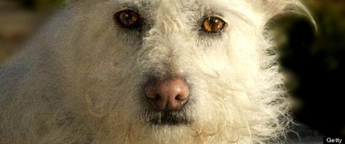 r-WHITE-FLUFFY-DOG-large570