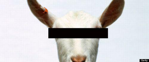 Goat Portrait.