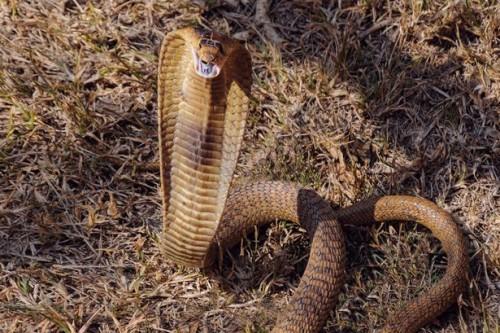 Egyptian-cobra-flaring-its-hood