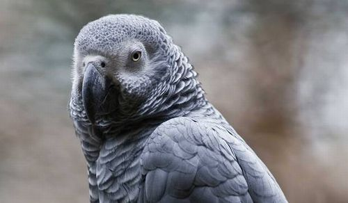parrot-getty